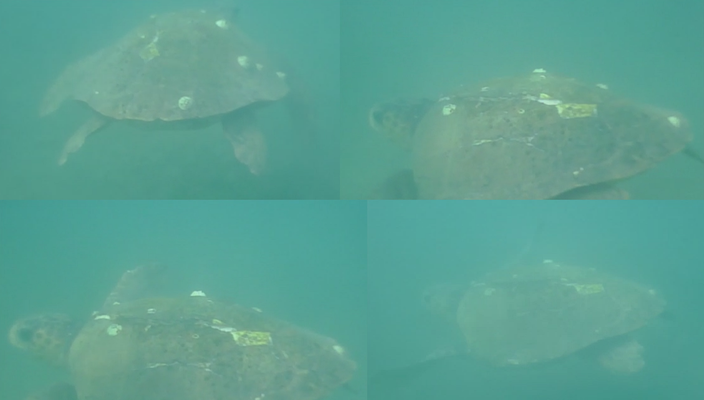 Mashup of several images of Loggerhead Sea Turtle. Luckily Kyra had an underwater camera with her, so we at least have these images!