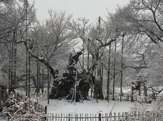 1月8日 初雪 あと二ヶ月半余りで開花