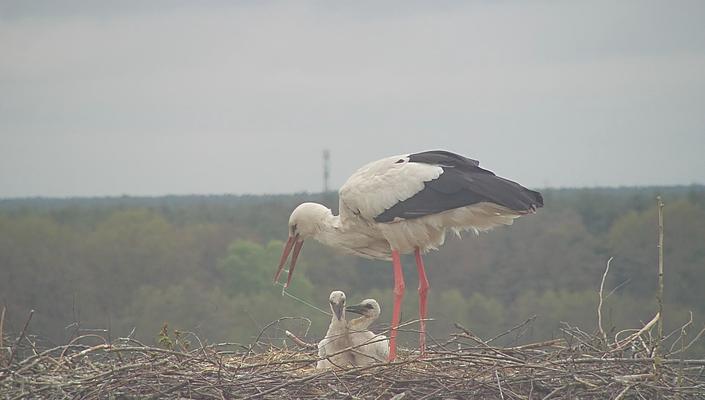 Fridolin und Friederike sind sehr häufig beide am Nest um dieses zu verteidigen. Dadurch wird weniger Futter eingetragen, ein Jungtier stirbt.