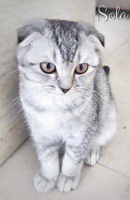 Scottish Fold Katze Sola mit 7 Monaten an OCD erkrankt