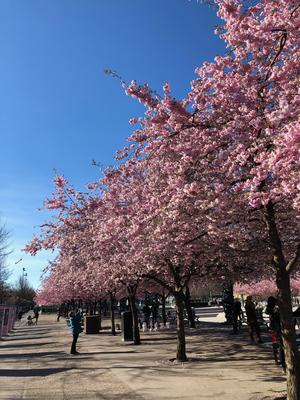 Kirschbäume am Kungsträdgården beim gemeinsamen Frühlingsspaziergang