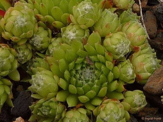 Sempervivum arachnoideum - Spinnweben-Hauswurz