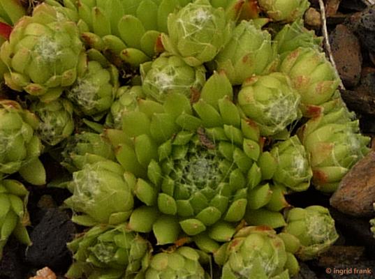 Sempervivum arachnoideum / Spinnweben-Hauswurz
