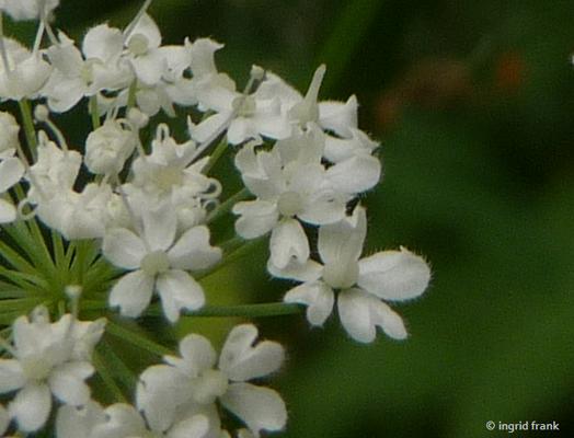 Chaerophyllum hirsutum / Behaarter Kälberkropf