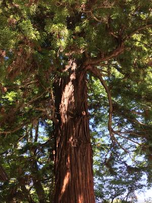 秋宮の寝入りの杉