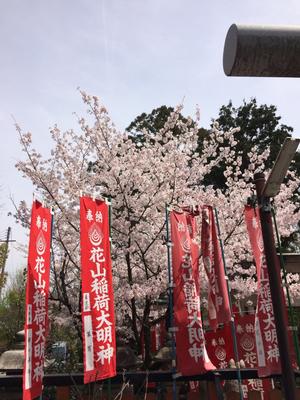 花山神社は桜が満開でした