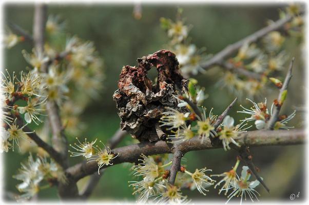Abgefangen: Ein vertrockneter Apfel auf Schlehenblüten