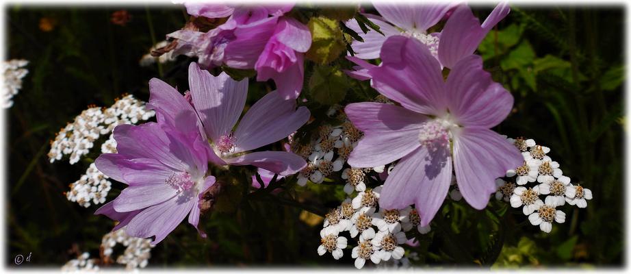 Die Wilde Malve & die Blüten der Wilden Möhre (weiße Blüten)