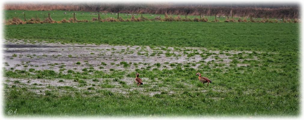 """Zwei Nilgänse - """"Hier kriegt man aber nasse Füße, schnatter... schnatter..."""""""