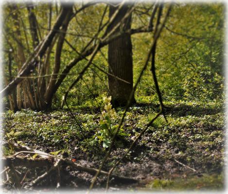 Eine Hohe Schlüsselblume am Waldrand in der Nähe eines Wassergrabens