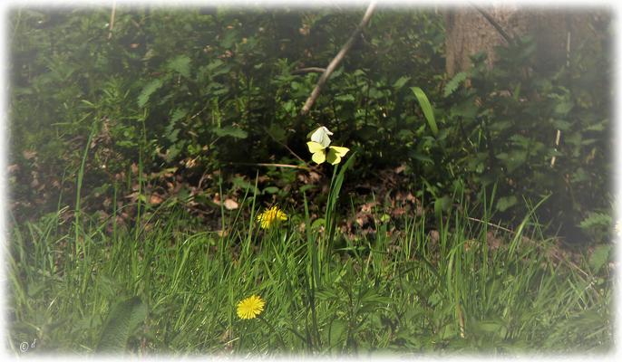 Das Weibchen des Zitronenfalters ist nicht so auffällig gelb gefärbt
