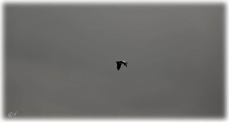 Der Flug einer Nilgans