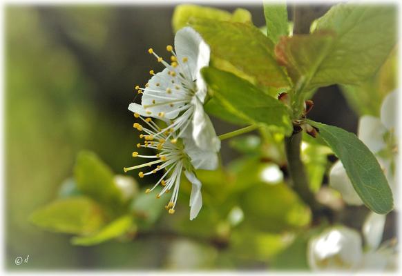 Die wunderschönen Blüten der Wilden Kirsche
