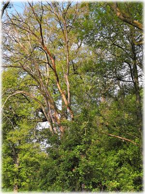 Im Einklang - Lebende & abgestorbene Bäume