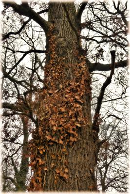 Die Eiche mit dem abgestorbenen Efeumantel