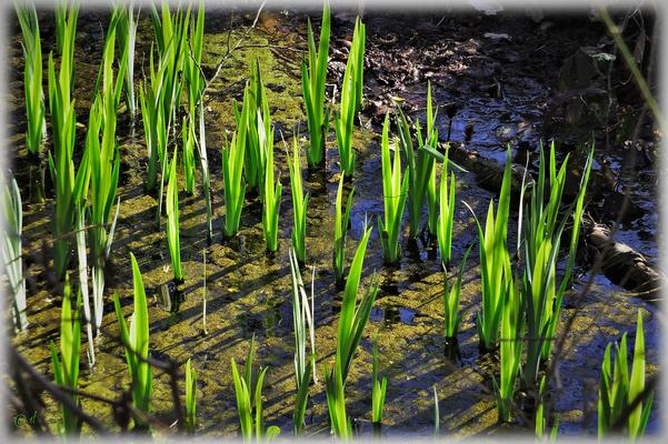 Das zarte Wachstum der neuen Wasserliliengeneration