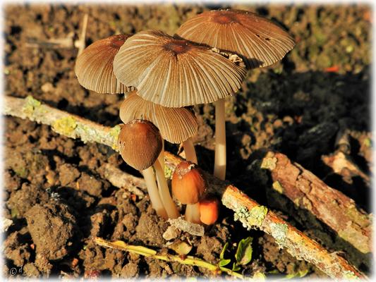 Die strahlende Pilzgruppe