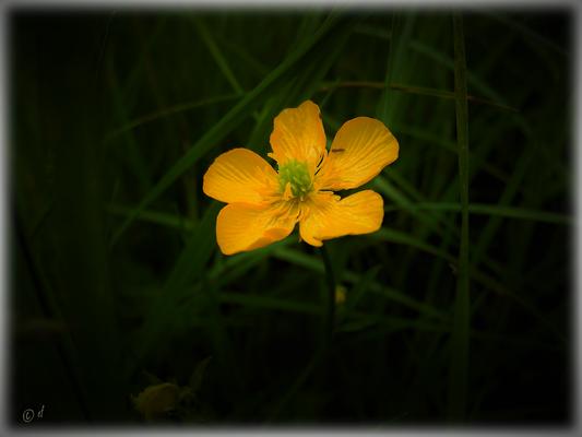 Die Blüte der Butterblume
