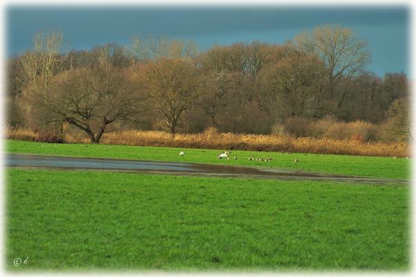 Zwischen den Wildgänsen ein Schwanenpaar ...