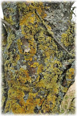 Der Flechtenbaum (vorwiegend mit Gelb- & Caperatflechte bedeckt)