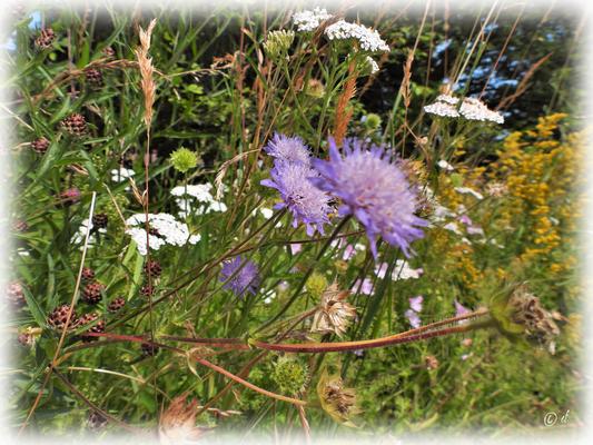 Die Acker-Witwenblumen (in zartem Lila)