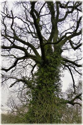 Die Eiche mit dem grünen Efeumantel