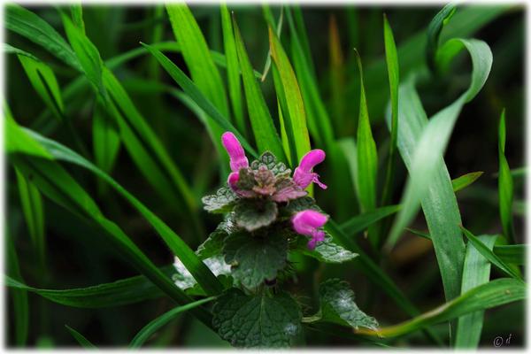 Die zartrosafarbenen Blüten sind ein typisches Merkmal dieser Wildpflanze