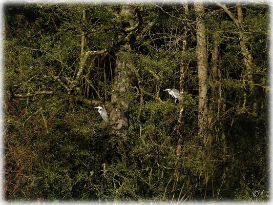 ... zwei Graureiher genießen die Sommersonne auf den Bäumen