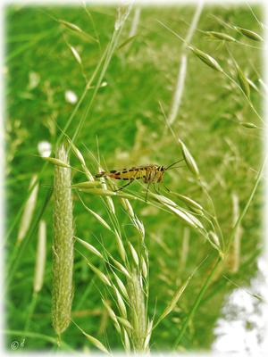 Eine Skorpionsfliege