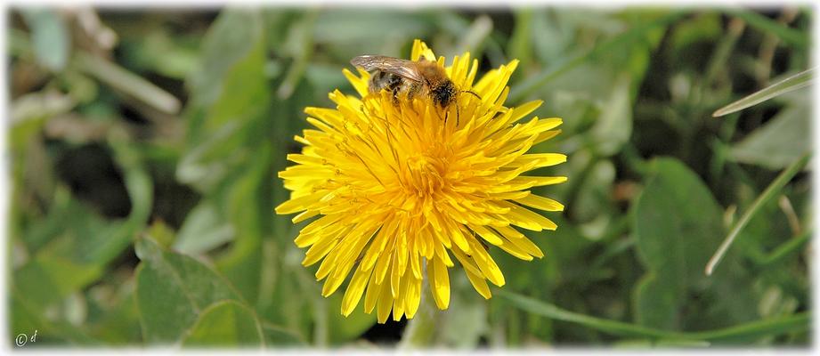 Auch andere Wildbienen ...