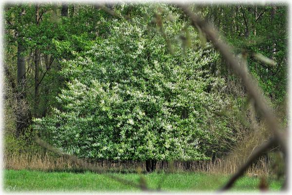 Das blühende Baumdreieck
