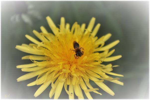 Eröffnung der Pollenbadsaison für Wildbienen & Co.