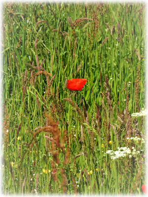 Auffälliges Rot: Der Klatschmohn
