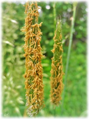 Die Blüten des Wiesen-Fuchsschwanzes