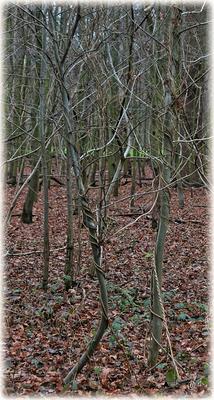 Die optische Täuschung: Es ist keine Kordel, die das rechte Bäumchen umwickelt & hält ... es ist tatsächlich eine Schlingpflanze!