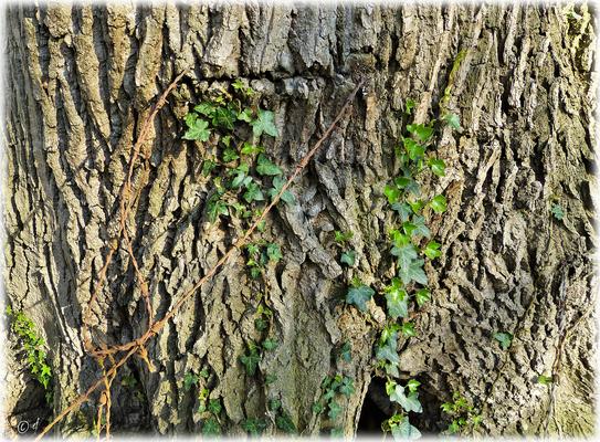 Der Baum & der Stacheldraht