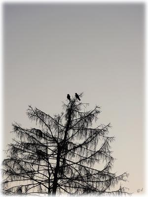 Guten Morgen Selfkant: Zwei Krähen begrüßen hoch oben auf einem toten Nadelbaum den Tag