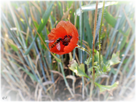 Zarte Begegnungen: Eine Schwebfliege auf einer Klatschmohnblüte