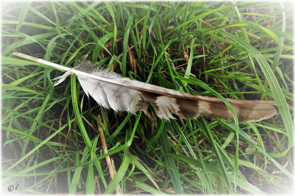 Die Feder eines Greifvogels