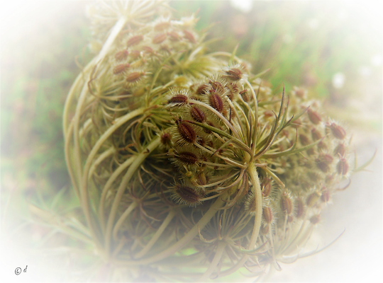 Die Samen der Wilden Möhre
