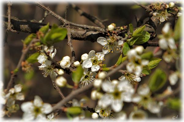 Die frischen weißen Blüten der Schlehe
