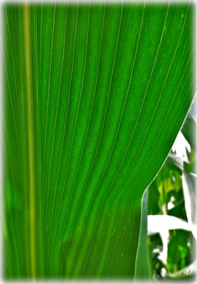 Das Maisblatt
