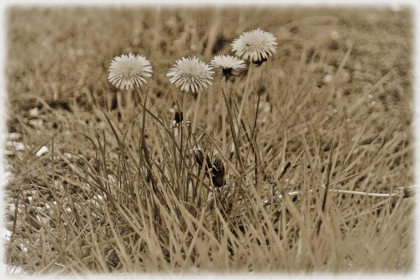 ... Löwenzahnpflanzen