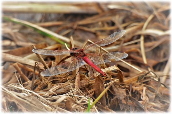 Eine Blutrote Heidelibelle in der Nähe des Grabens