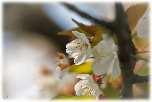 Die Schönheit der Blüten der Wilden Kirsche