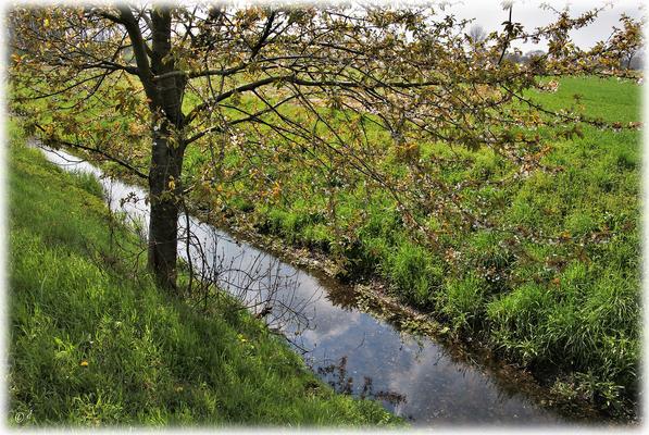 Eine Wilde Kirsche am Rande des Rodebachs