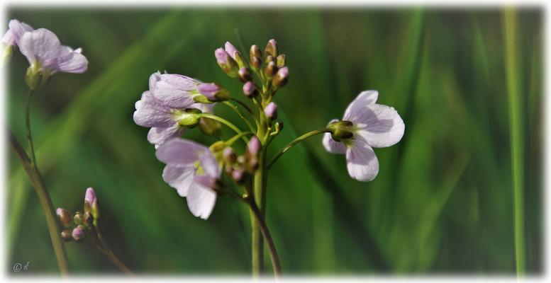Das Wiesen-Schaumkraut