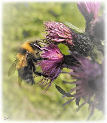 ... an den Pollen der Distelblüten