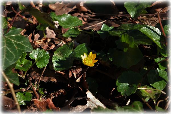 Die ersten Blüten des Scharbockskrauts