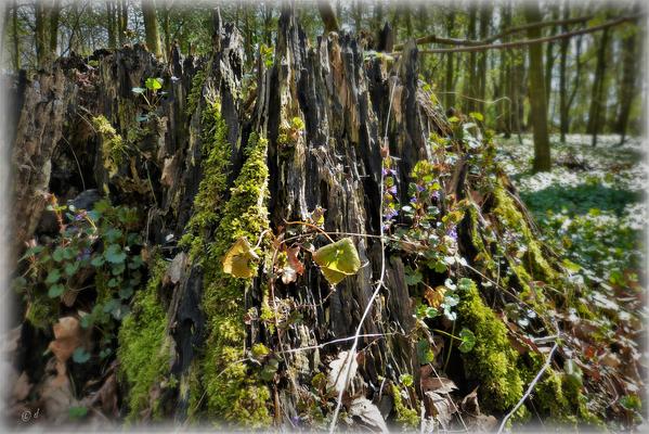 ... & an stark verwitterten Baumstümpfen